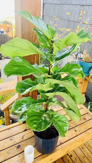 Live indoor Fiddle Leaf Fig (Ficus Lyrata) house plant tree in a temporary plastic planter flower pot—firm price for Sale in Seattle, WA