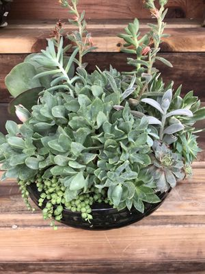 All Green Large Variety Succulent Arrangement for Sale in Riverside, CA