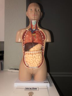 Axis scientific anatomy model for Sale in Fort Myers,  FL