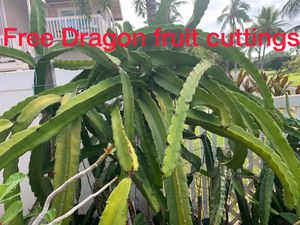 Free Dragonfruit Cuttings - sweet! for Sale in Kapolei, HI