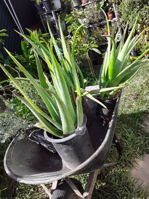 Aloe Vera sabila for Sale in La Puente, CA