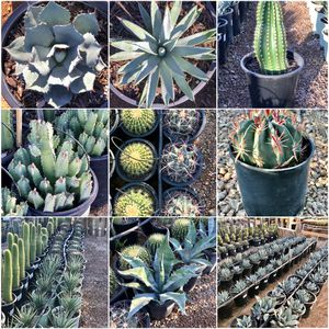 🌵 ⛅️ 🌊 🔥 Cactus Totem Poles Agave Moroccan Mounds Euphorbia Golden Barrel ☀️ 🌲 🌳 for Sale in Waddell, AZ