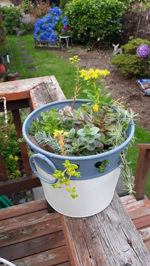Blue and Ivory Handled Shabby Chic Bucket Full of Succulent Plant Arrangement for Sale in Sumner, WA
