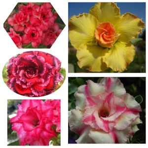 25 pcs. MIXED ADENIUM OBESUM SEEDS for Sale in Glendale, CA