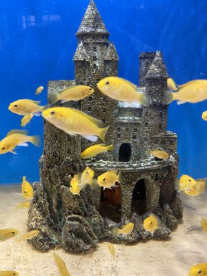 Electric yellows fish tank for Sale in Arcadia, CA
