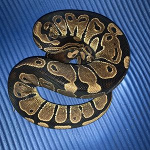 Adult Female Ball Python for Sale in Westhampton Beach, NY