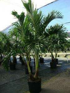 Palm trees delivered and planted 10 foot tall for Sale in North Port, FL