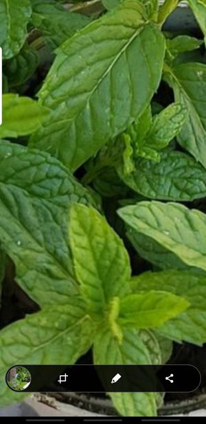 Organic mint plant for Sale in Aurora, CO