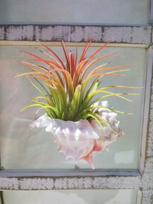 Set of 3 Hanging Air Plant Holders with Air Plants for Sale in Las Vegas, NV