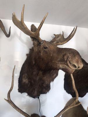 Moose taxidermy for Sale in Adelanto, CA