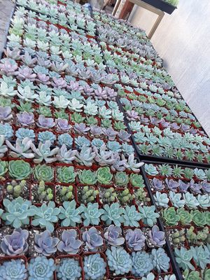 """2"""" pots with succulent plants $1 each and $55 for tray of 64 plants for Sale in La Mirada, CA"""