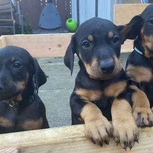 Dobermans for Sale in South San Francisco, CA