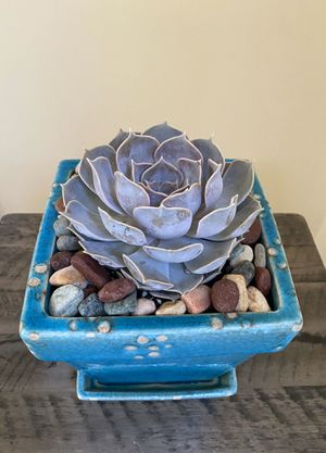 Live succulent houseplant for Sale in Duluth, GA