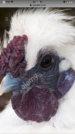 Silky roosters for Sale in Burlington, CT