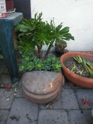 Frog guardian aeonium succulent arrangement for Sale in Fullerton, CA