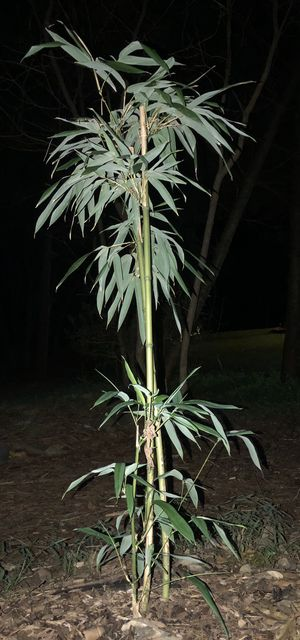 Bamboo Plants up to 3 feet tall for Sale in Saylorsburg, PA