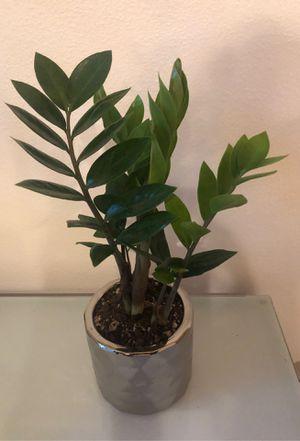 ZZ plant in a silver ceramic pot for Sale in Portland, OR