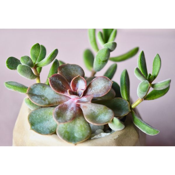 SUCCULENT ARRANGEMENT REAL PLANTS!
