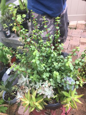 Big Pot of Succulents for Sale in Poinciana, FL