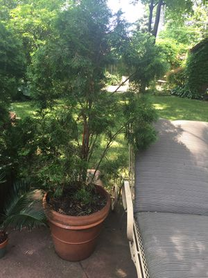 Arborvitae potted for Sale in Chicago, IL