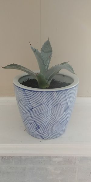 Agave Plant for Sale in Mesquite, TX
