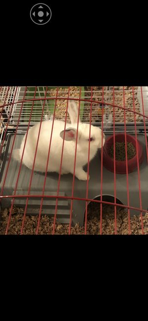 Bunnies for Sale for Sale in Derry, NH