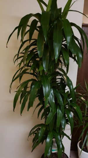 Elegas cane plant for Sale in Adelphi, MD