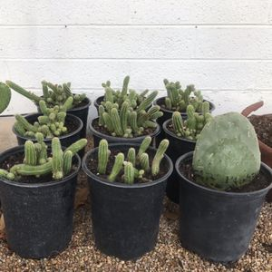 Cacti Cactus Plants in 1 Gallon Pots Claret Cup Prickly Pear for Sale in Tempe, AZ
