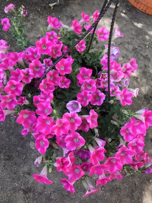 Beautiful bright color of petunia flowers on hanging pot for Sale in Aurora, CO