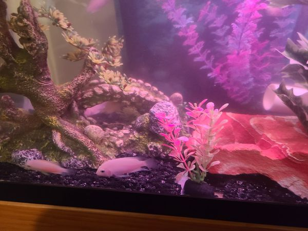 Fish aquarium 55 gallons ,with fish and supplies, lights , filter etc