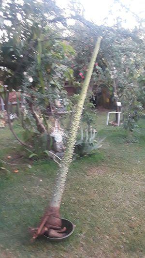 Cotton tree for Sale in La Puente, CA