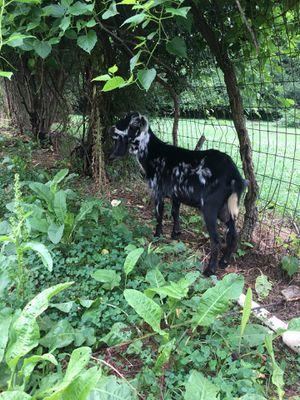 Goat for Sale in Murfreesboro, TN