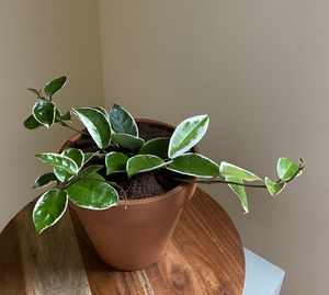 Krimson queen variegated Hoya houseplant for Sale in Duluth, GA