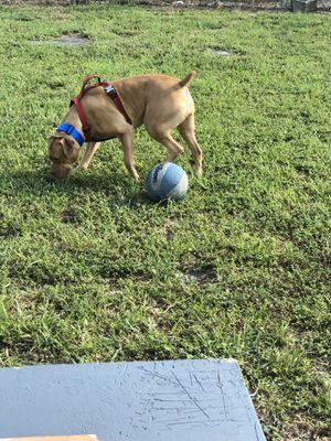 Cuido perros en mi casa el tiempo k desees donde serán atendido con mucho amor for Sale in Hialeah, FL
