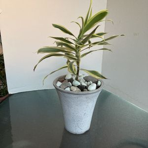 White Ceramic Planter With Dracaena Plant for Sale in Henderson, NV
