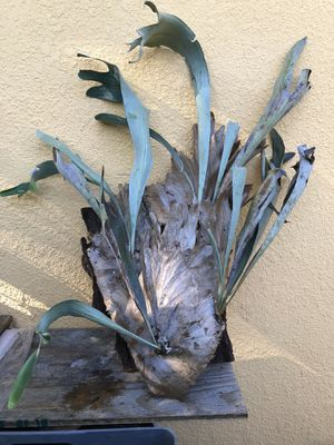Staghorn Fern for Sale in Tampa, FL