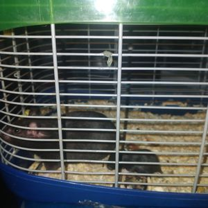 hamsters . teddy bear breed.. open eyes and very cute. in black grey light brown and white. teddybear hamsters for Sale in Long Beach, CA