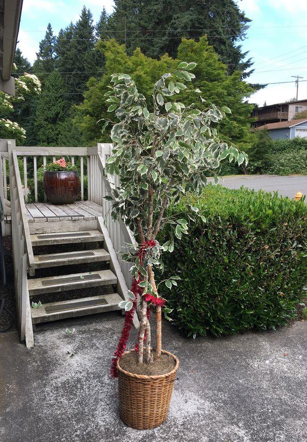 Silk Plant Ficus Tree Fake Free For Sale In Lynnwood Wa