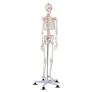 Human Skeleton Anatomy Esqueleto Humano Anatomía ROTEN tamaño real, 70.9 in for Sale in Doral, FL