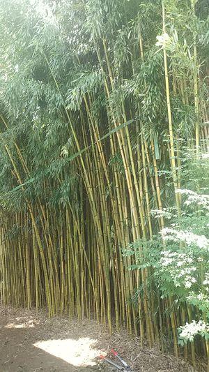 Bamboo for Sale in Nashville, TN