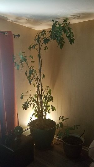 House plant for Sale in Littleton, CO
