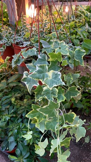 Ivy plant for Sale in Modesto, CA