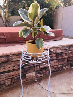 Live Ficus Plant in Yellow Ceramic Pot for Sale in Laveen Village, AZ