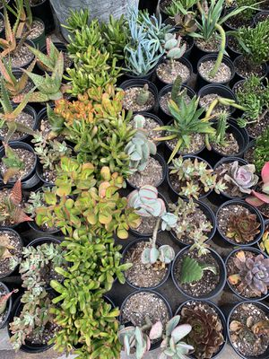 Cactus and succulent plants for Sale in Spring Valley, CA