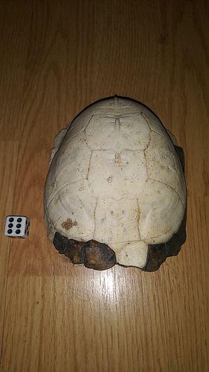 Dry bone tortoise shell for Sale in Sylvester, WV