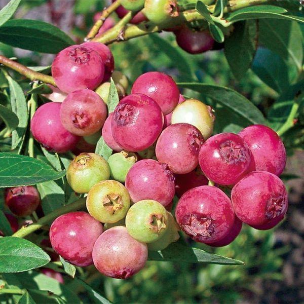 Blueberries Pink Lemonade😀😀🌿🌿🌿🌿