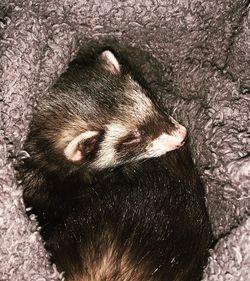 Ferret Rescue for Sale in Austin,  TX