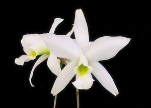 Laelia anceps f. alba 'Bulls' - BLOOMING SOON! Species orchid for sale, easy outdoor warm grower for Sale in Los Angeles, CA