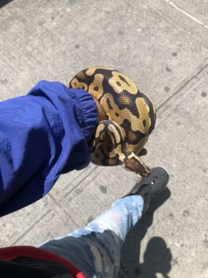 Pastel Ball Python w/ 55 gallon tank and heat light for Sale in New York, NY