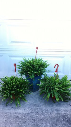 Very Healthy and Thick Ferns-Shade Plants-$13 each - Or 2 for $25 for Sale in Garden Grove, CA